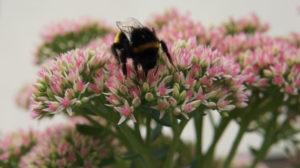 Hummel sitzt auf Blume und sammelt Nektar
